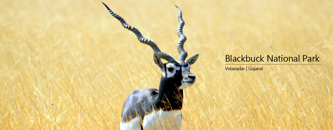 Trip to Blackbuck National Park at Velavadar