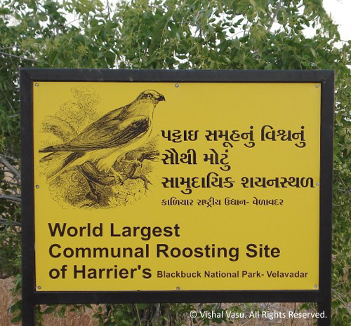 World largest communal roosting site of Harrier's