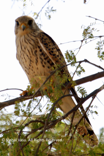 Common Kestrel, European Kestrel or the Eurasian Kestrel
