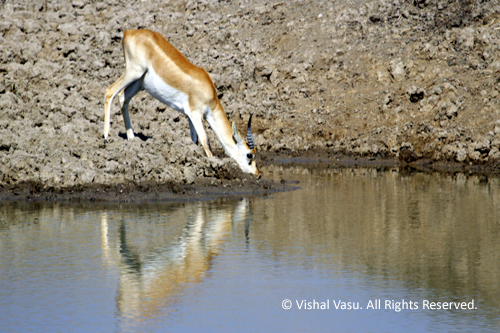 Blackbuck drinking water